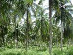 kelapa inhil