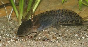 Salamander Anderson