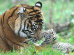 7-15_1_harimau-sumatera