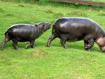 pygmy_hippopotamus_whipsnade_8th_june_2013_d-225982