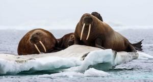 Walrus Pasifik